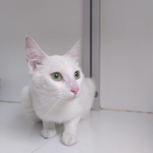 Witte poes 12788