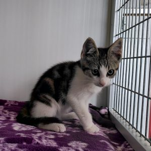 Cypers witte kater 12798